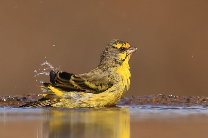 Mosambikgirlitz (Yellow-Fronted Canary)