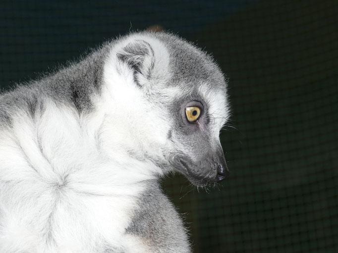 Lemur - Herbert Boing