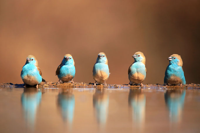 Angola Schmetterlingsfinken (Blue Waxbill)