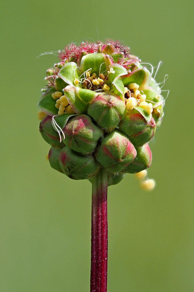 Kleiner Wiesenknopf