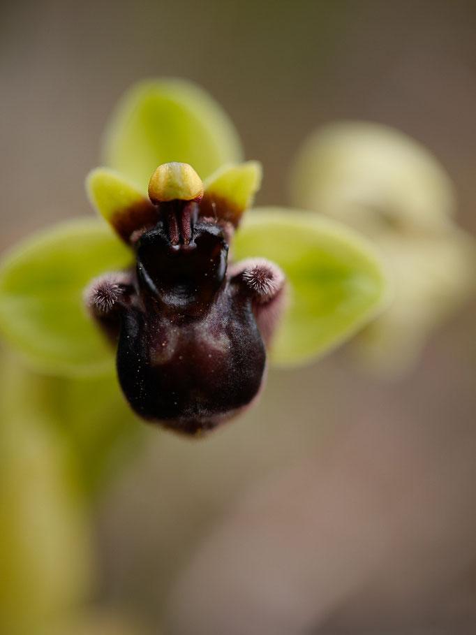 Drohnen-Ragwurz (Ophrys bombyliflora)