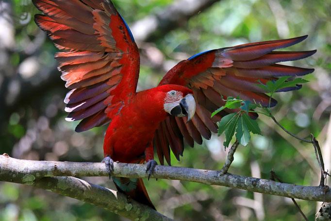 Grünflügelara - Bonito (Brasilien)