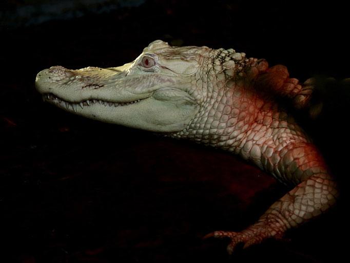 Albino Alligator - Dieter Mehlhaff