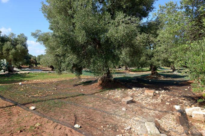 Apulien/Süditalien Vor der Olivenernte