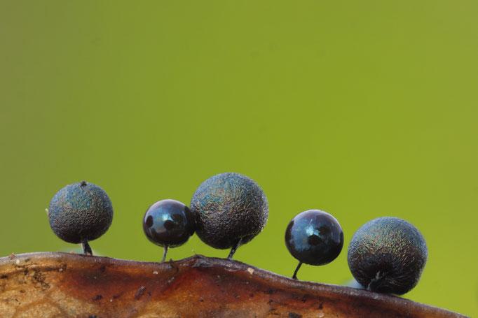 Myxomyceten