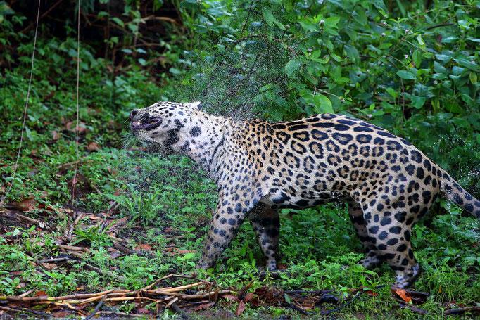 Jaguar Nord-Pantanal Brasilien