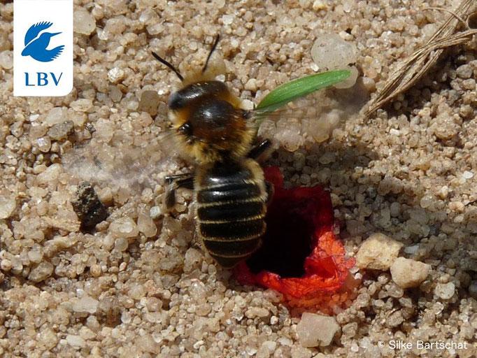 Mohn-Mauerbiene im Nest (Bild: Silke Bartschat)