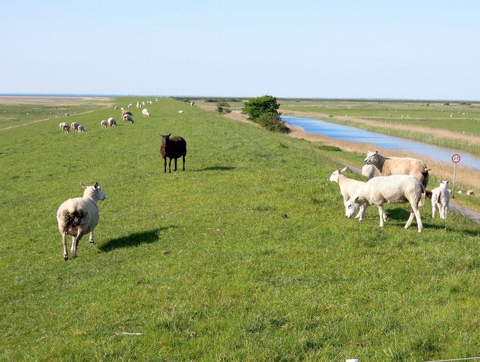 Schafen halten die Deiche von Mandø frei. Foto: C. Schumann