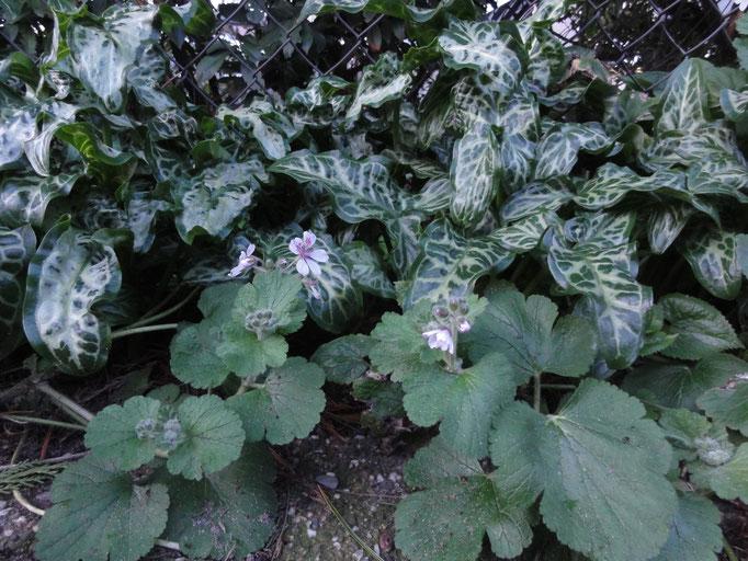 Arum italicum 'Pictum' met Erodium