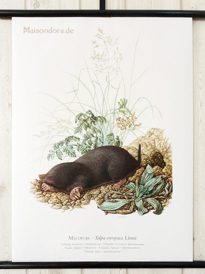Vintage Schulwandkarte Poster Rollkarte Tiere Maulwurf