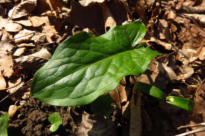 Flecken-Aronstab (Arum maculatum) | Fam. Aronstabgewächse | teilweise geschützt | giftig!!!
