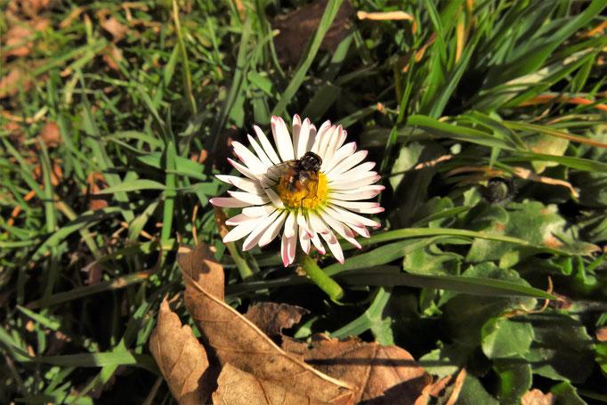 Gänseblümchen (Bellis perennis) | Korbblütler (Asteraceae)