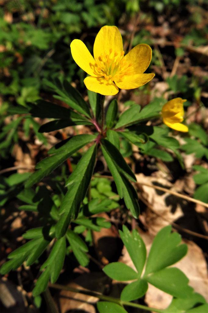 Gelb-Windröschen (Anemone ranunculoides) | Familie: Hahnenfußgewächse | giftig!!!