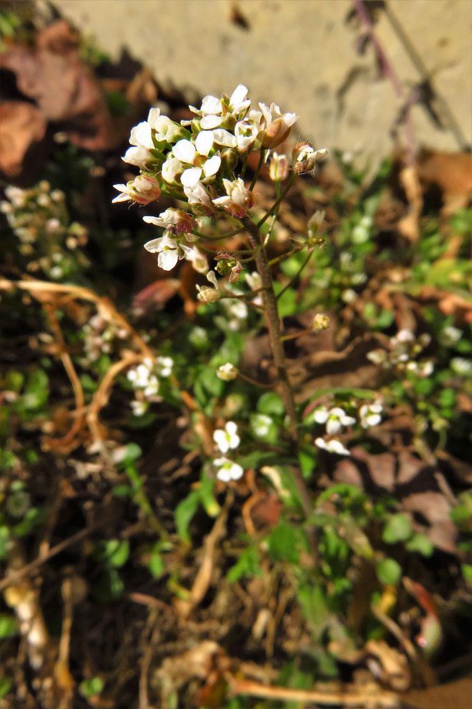 Gewöhnliches Hirtentäschel (Capsella bursa-pastoris) | Kreuzblütler (Brassicaceae)