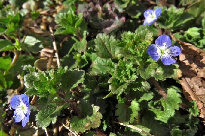 Persien-Ehrenpreis (Veronica persica) | Wegerichgewächse (Plantaginaceae)