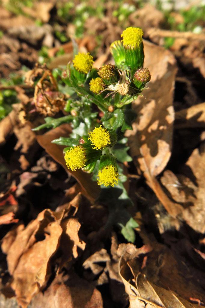 Gewöhnliches Greiskraut (Senecio vulgaris) | Korbblütler (Asteraceae)