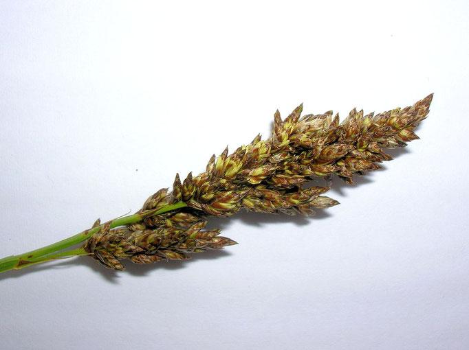Rispen-Segge (Carex paniculata)