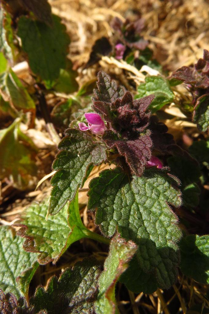 Purpur-Taubnessel (Lamium purpureum) | Lippenblütler (Lamiaceae)