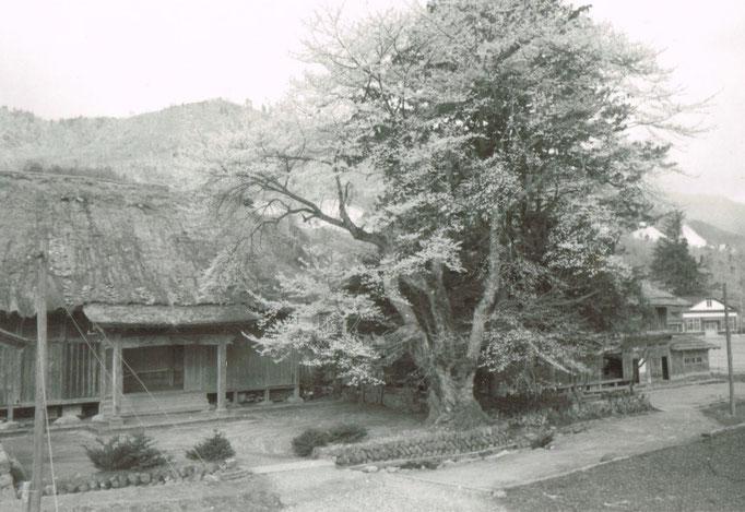 光輪寺、そして右の桜が現在の荘川桜のうちの一本