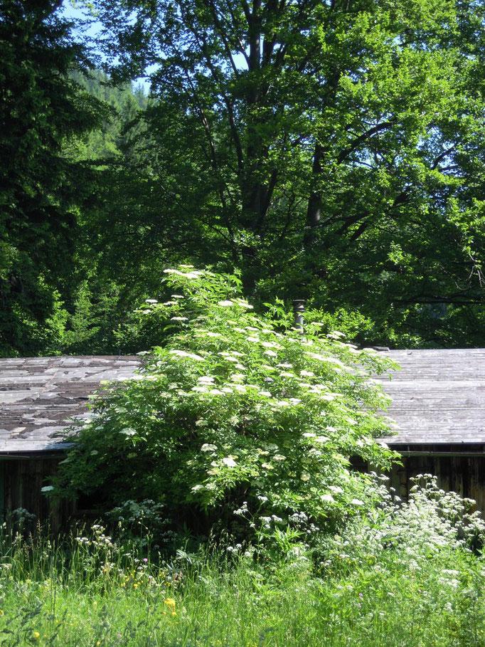 Holunder - Sambucus nigra, Pflanze der Großen Göttin