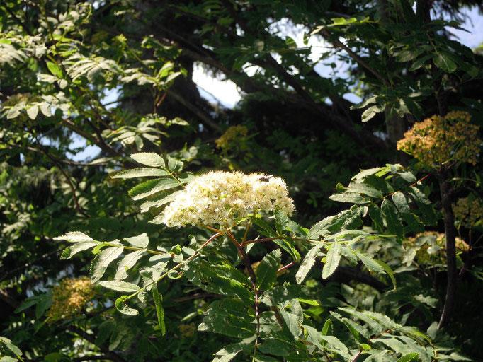 Eberesche in Blüte - Sorbus aucuparia, auch Vogelbeere genannt