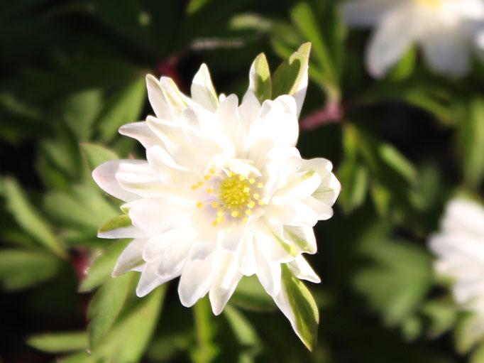 Die halbgefüllten Blüten schmücken sich mit grünen äußeren Blütenblättern.
