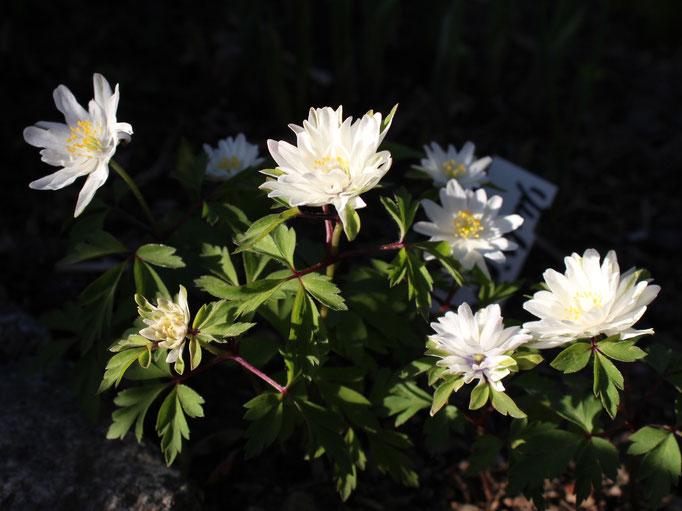 Von den vier im letzten Jahr gepflanzten Buschwindröschen hat sich Anemone nemorosa 'Multiplicity' am besten entwickelt.
