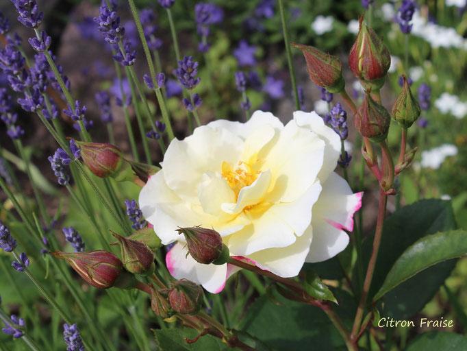 Citron Fraise (Delbard 1998, Strauchrose, hellgelb aufblühend und dann rosa verblühend