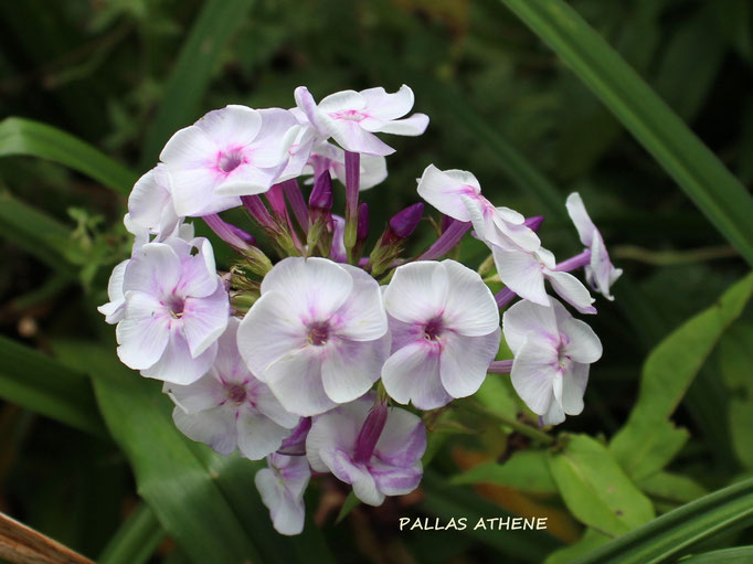 'Pallas Athene'  (H. Hagemann)