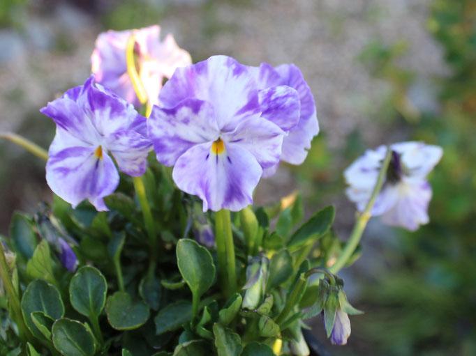 Viola cornuta 'Columbine'. Hoffentlich hab ich mit ihr mehr Glück als nmit der ähnlichen 'Rebbecca'.