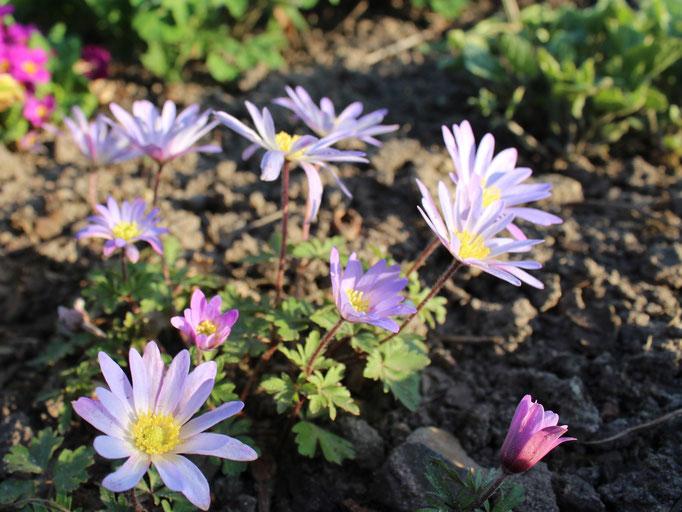 Anemone blanda von einer lieben Gartengreundin. Die gekauften verschwinden zumeist im Folgejahr.