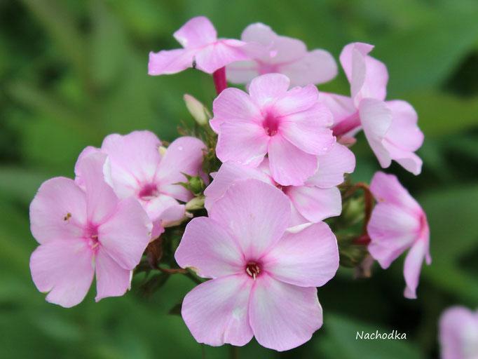 'Nachodka'  Züchter: Gaganov 1950  (Echtheit der in D erhältlichen Pflanze muss angezweifelt werden)