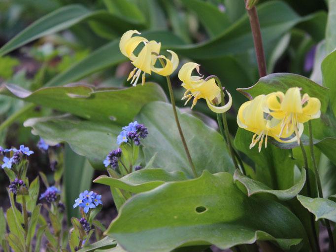 Die Hundszahnlilie (Erythronium) Hybride 'Pagoda' blüht Jahr für Jahr zuverlässig. 'Rose Queen verweigert sich dagegn schon das zweite Jahr.