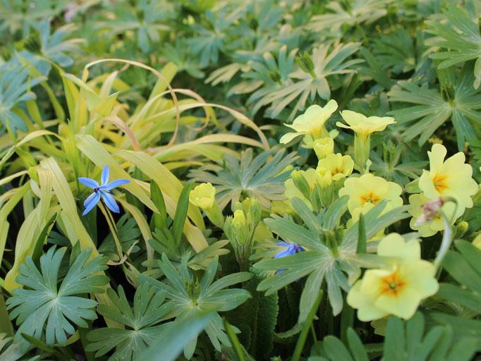 Zwischen dieser Kissenprimel und dem Echten Himmelsschlüssel (Primula veris) ...