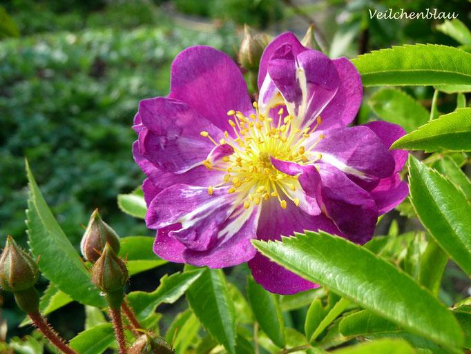 Veilchenblau, Einzelblüte