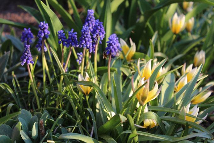 Wildtulpe Tulipa tarda und Muscari