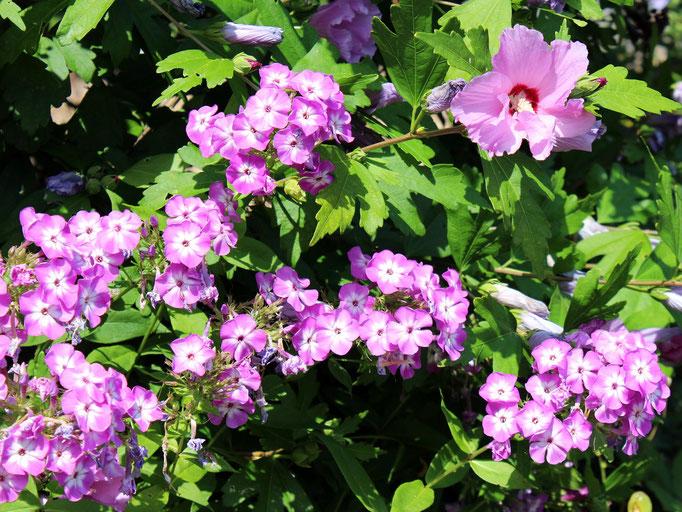 'Uspech' (P. Gaganow 1937)   Blütendurchmesser: 4-4,5 cm; Höhe: 80-100 cm; Blütezeit: Anfang 7 - 9