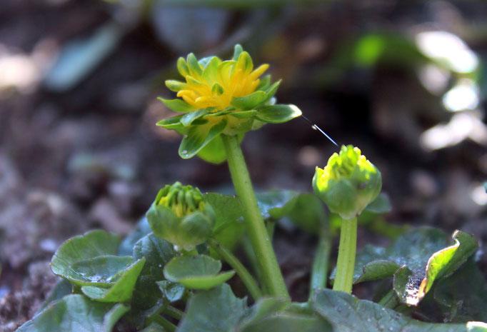 Ranunculus ficaria 'Salad Bowl'