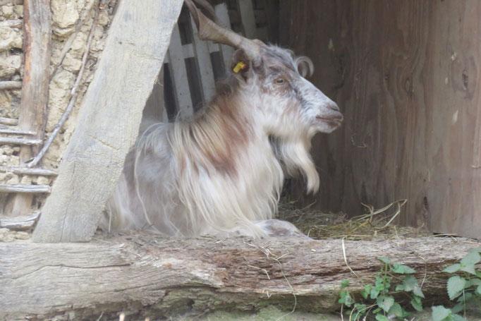 Bartholomä oder wir wissen es noch nicht genau wie er heißen soll... :) Beide Ziegenböcke sind seeehr freundlich, stinken nicht und schmusen gerne!