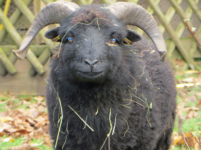 Oussant-Böckchen Kasimir, geb. 2012, lieb, frech, aufdringlich und verfressen! (Sollte wegen einer Klauenfehlstellung geschlachtet werden.)