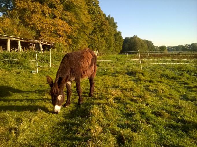 Vom Aussterben bedrohter Poitou-Esel. Caruso, geb. am 18. Mai 2009, Halbbruder von Rapunzel, er ist eine große Schmusebacke und gleich offen Fremden gegenüber! Wir freuen uns sehr über die 2 Wuschellangohren, auch hier ist ein Traum in Erfüllung gegangen!