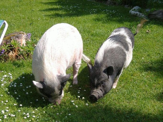 Rosalie und Twinky, geboren 2004, Minischwein Geschwister, lebten anfangs im Haus mit. Rosalie ist sehr selbstbewusst, offen, aufdringlich und verfressen. Twinky ist sensibel und sehr liebebedürftig, eine Seele von Schwein!