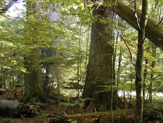Nationalpark Bayerischer Wald: Watzlik Hain