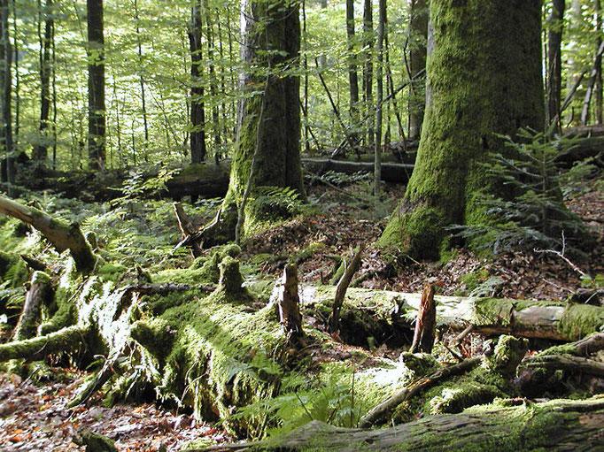 Nationalpark Bayerischer Wald: Urwaldgebiet Mittelsteighütte