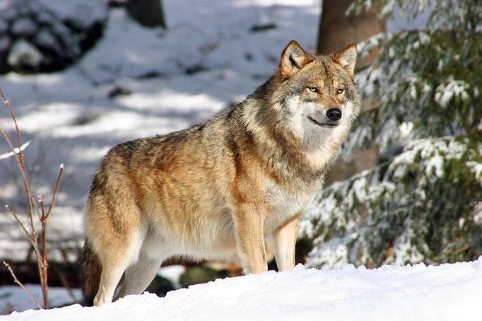 Nationalpark Bayerischer Wald (Foto Pöhlmann): Wolf