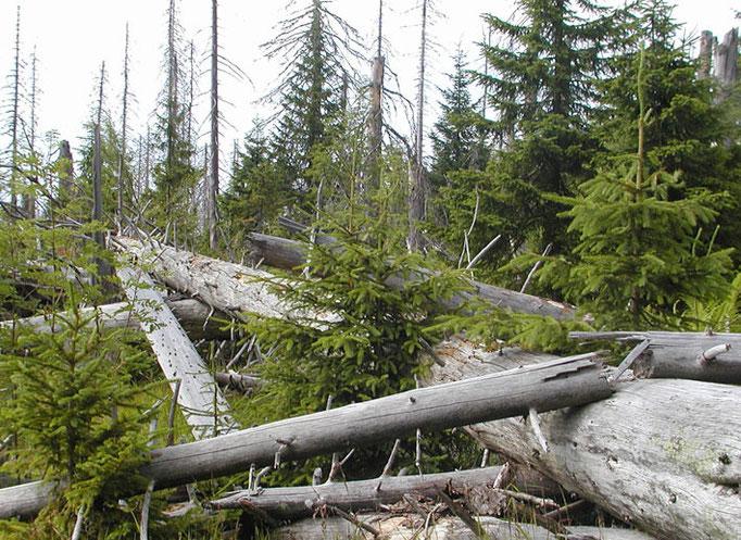 Nationalpark Bayerischer Wald: Natürliche Waldverjüngung im Bergfichtenwald