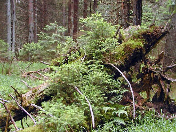 Nationalpark Bayerischer Wald: Natürliche Waldentwicklung im Aufichtenwald