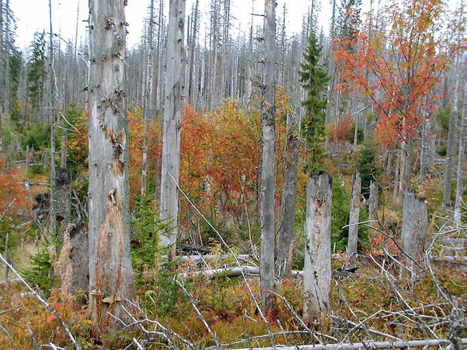 Nationalpark Bayerischer Wald: Herbstlicher Bergfichtenwald