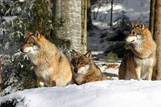 Nationalpark Bayerischer Wald (Foto Pöhlmann): Wölfe