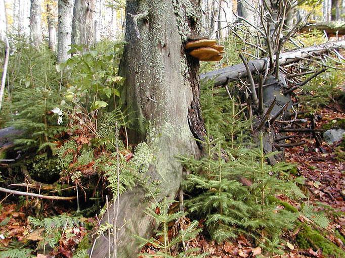 Nationalpark Bayerischer Wald: Natürliche Waldverjüngung